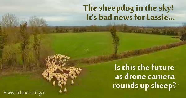 Herding sheep with a drone, without a sheepdog