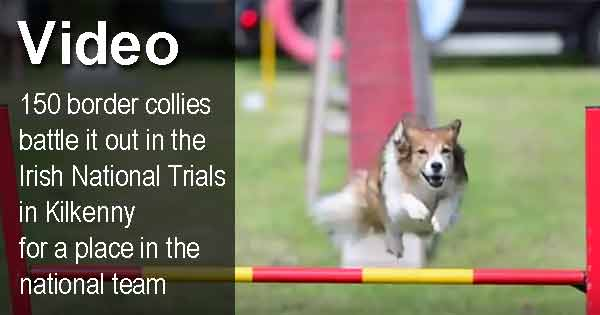 150 border collies battle it out in the Irish National Trials in Kilkenny for a place in the  national team