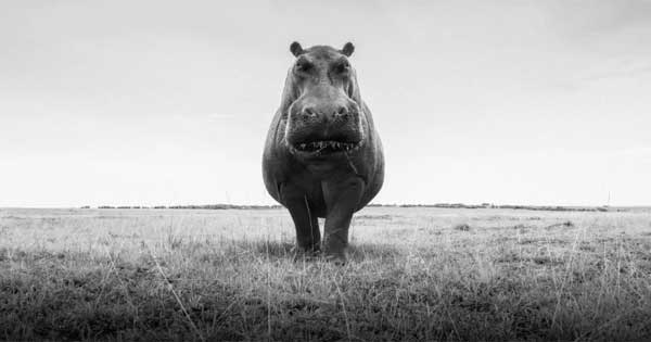 Photo of a hippo by Graham Purdy