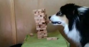 Incredibly skillful dog can play Jenga