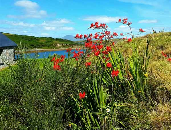 Collanmore Island flowers