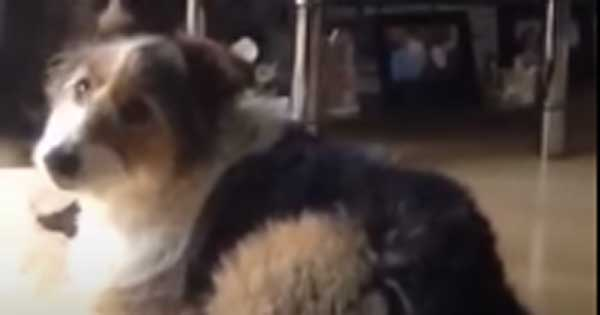 Indy the dog sings along to The People's Angleus